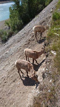 Medicine Lake: 湖畔の斜面にも大量の動物発見