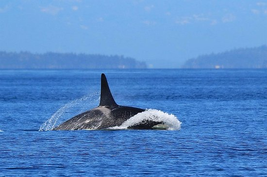 "Port Townsend, Вашингтон: Orca ""porpoising"" as it travels in search of salmon for lunch."