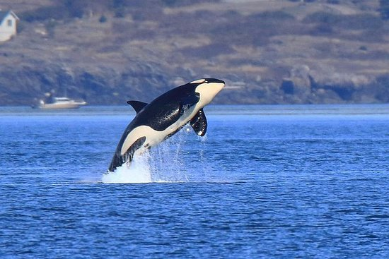 Port Townsend, Вашингтон: Orca breaching. This was the photo I wanted most to get on this trip!