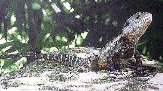 Jamberoo, Austrália: Eastern Water Dragon