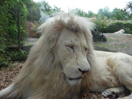 Pessac, Франция: lion blanc