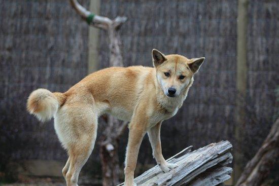 Moonlit Sanctuary Wildlife Conservation Park: Dingo