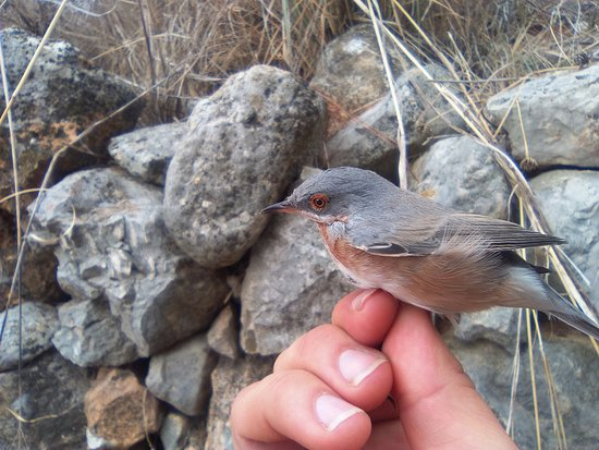 Costa Blanca, España: Subalpine Warbler in Pego mountains