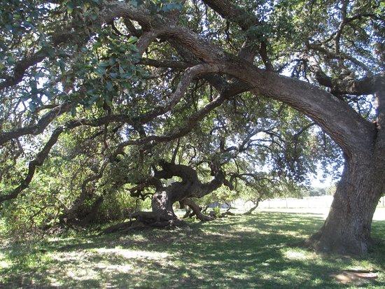 Johnson City, تكساس: Live Oak trees along The Perdanales River