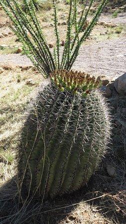 Patagonia, Аризона: Barrel cactus and ocotillo