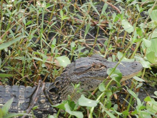 Okeechobee, FL: Basking gator