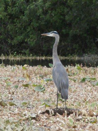 Okeechobee, FL: Heron