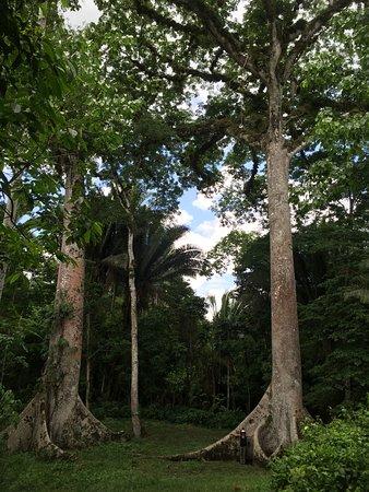 Cayo, Belize: Twin Ceiba