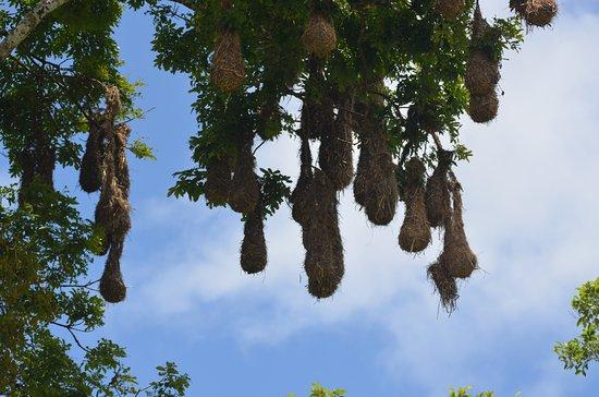 Cayo, Belize: Montezuma Oropendula nests