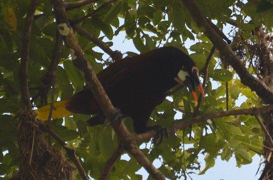 Cayo, Belize: Montezuma oropendola