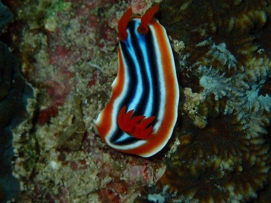 Cebu Fun Divers: Nacktschnecke