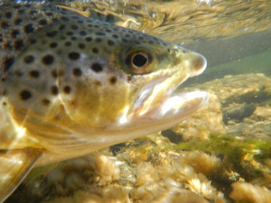 Ennis, MT: A fine Madison Brown - caught and released