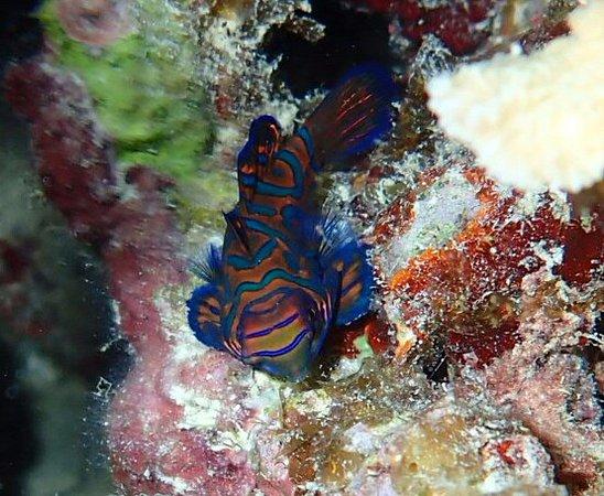 Cebu Fun Divers: Mandarinfisch