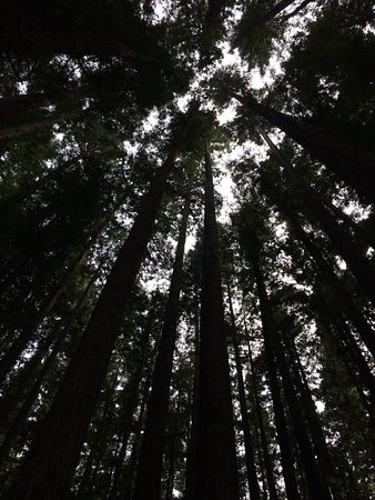 Warburton, ออสเตรเลีย: The Redwood forest at Cement Creek