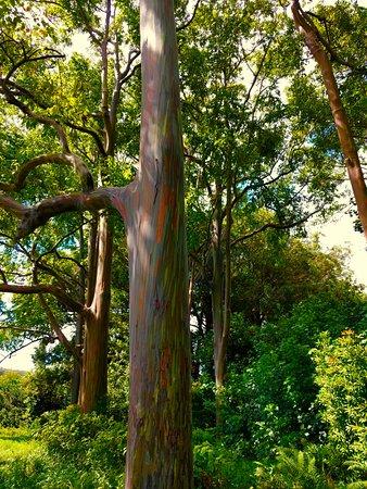 rainbow eucalyptus trees picture of maui mana adventures kihei