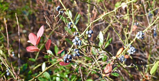 Browns Mills, NJ: Blueberry