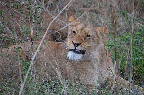 Ladysmith, South Africa: Awesome lion sightings