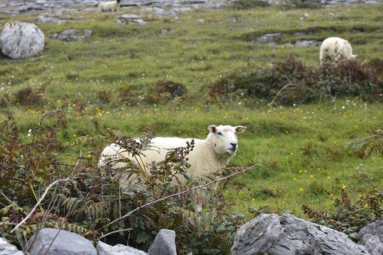 Moycullen, أيرلندا: Counting sheep along the Wild Atlantic Way.