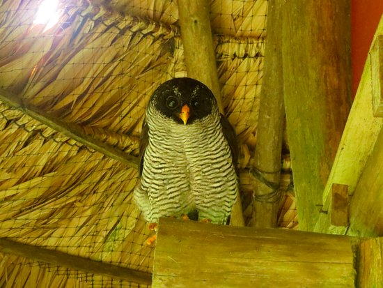 La Ceiba: Visiting rehabilitated and released owl, Florindo