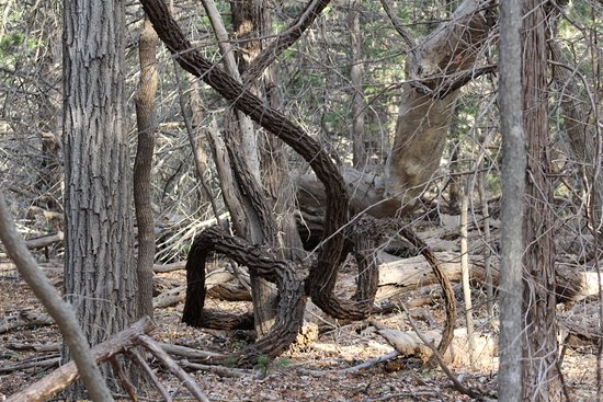 Woodward, OK: An unusual tree on one of the trails