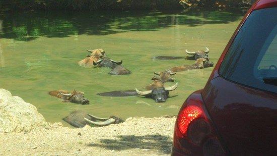 Mooresville, North Carolina: Water buffaloes