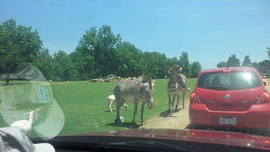 Mooresville, North Carolina: Zebras