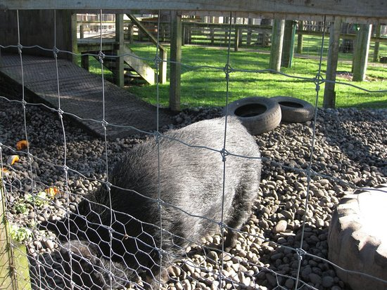 Invercargill, Neuseeland: friendly piggy