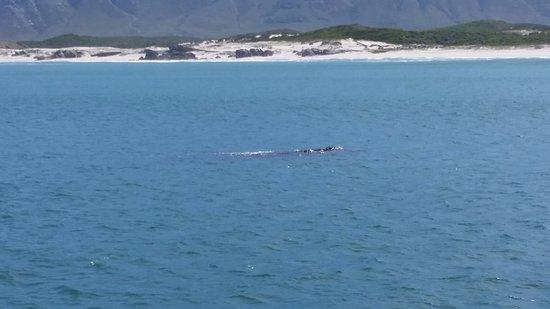 Hermanus, Sudafrica: Whale Watching