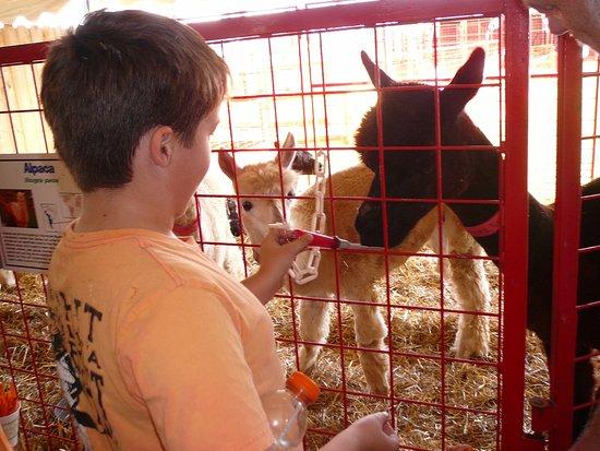 Lincolnshire, IL: feeding an alpaca