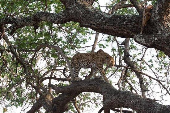 Hazyview, Sydafrika: Exclusive Leopard (Thanks to Frank)