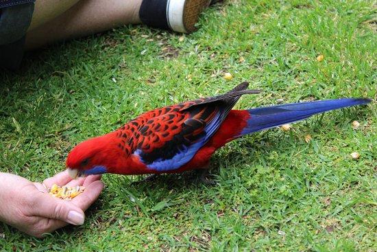 Killarney, Австралия: Bird Feeding