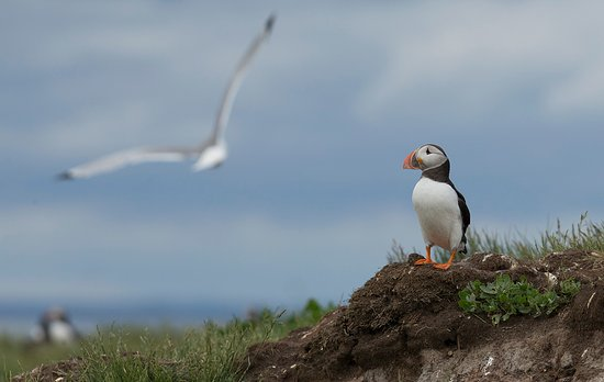 Farne Islands: A solitary Puffin and a passing Gull