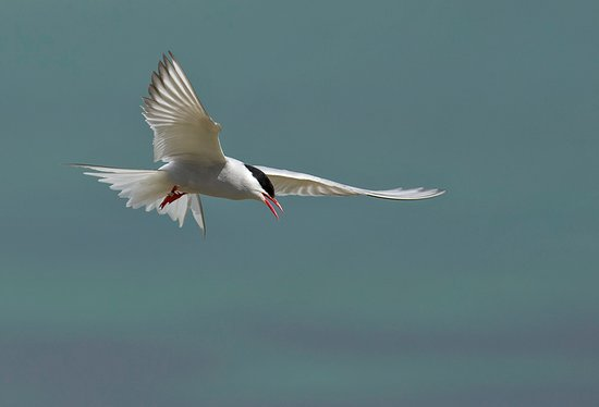 Farne Islands: Artic Tern