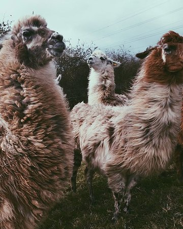 Truro, UK: Photo of some of the lovely Llamas