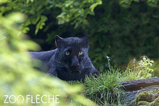 La Fleche, Франция: Panthère noire