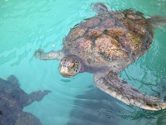 Sandys Parish, เบอร์มิวดา: Sea Turtles