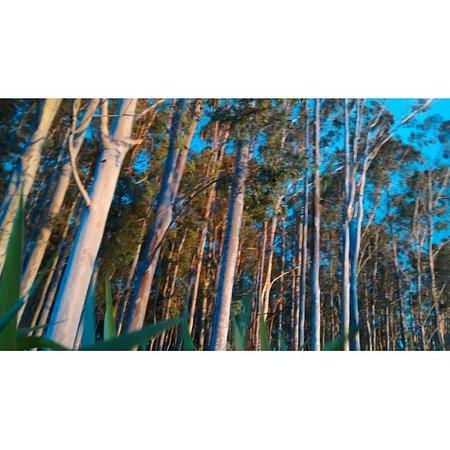 Rosana, SP: Eucaliptos na pista de cooper