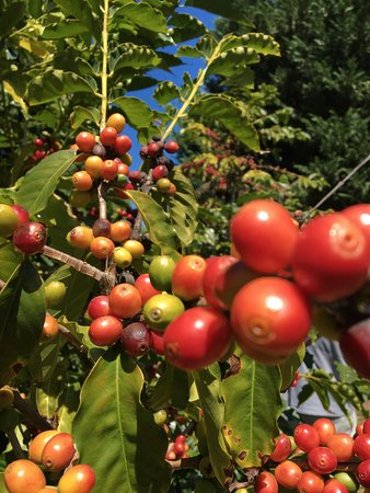 Mount Tamborine, Australia: Ripe Coffee 'Cherries'