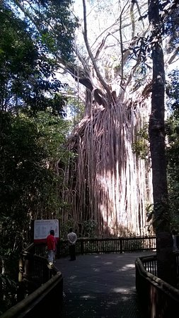 Yungaburra, Austrália: Go and see this amazing tree - you won't be disappointed.