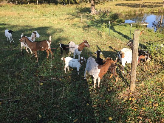Bedford, VA: The owners' goats