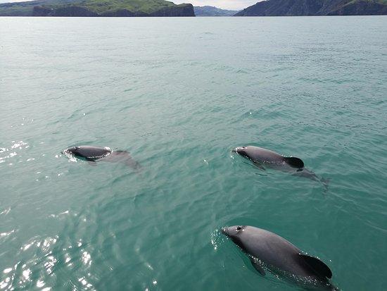 Akaroa, Nueva Zelanda: Hector's Dolphins