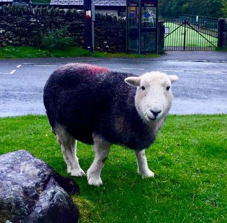 Ambleside, UK: A Herdwick sheep right outside The Britannia Inn