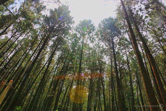 Κεντρική Επαρχία, Σρι Λάνκα: Through Pinus trees