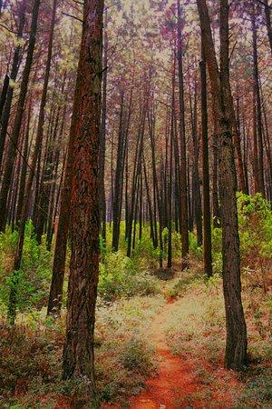 Provincia Central, Sri Lanka: Thorugh Pinus trees