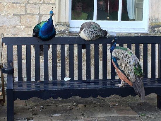 Nunnington, UK: Peakcocks