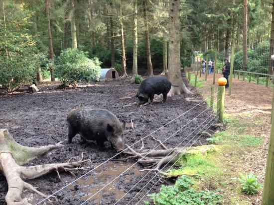 The giant wild boar and not big black pigs as my 3yr old ...Giant Wild Boar