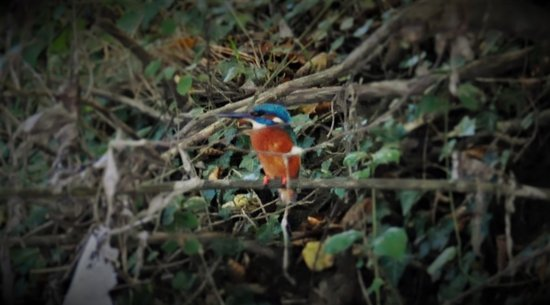 Rheinhausen, Германия: Ein prächtiger Eisvogel