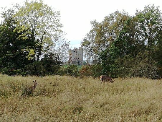 Appin, UK: Cervi nei pressi del castello :)