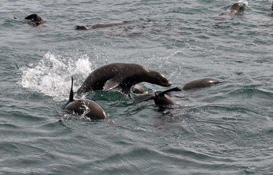 Gansbaai, Sør-Afrika: Fur Seals from the Dyer Island Cruise boat