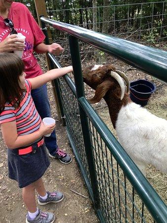 Rockwall, TX: goats